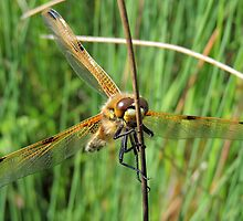 Four-spotted Chaser 09 by Magic-Moments