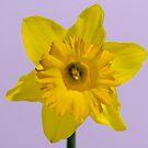 Daffodil looking at me by Mick Kupresanin