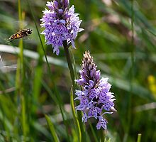 Orchids and Hoverfly by Stephen Maxwell