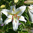 Lily White Lily... by Carol Clifford
