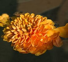Chrysanthemum Gently Floating in the Fountain of Campo de Fiori, Rome, Italy by Georgia Mizuleva