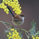 Superb Fairy Wren and Silver Wattle by Donovan wilson