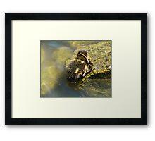 Sleeping Duckling Framed Print