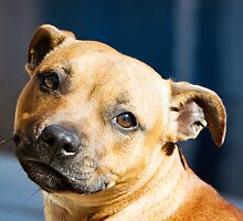 Staffordshire Bull Terrier by wildwhiskers