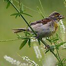 Dickcissel with lunch by Dennis Cheeseman