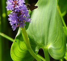 Pickerelweed by PineSinger