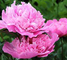 Pink Peony II by vbk70