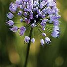 Allium --- Lavender Millenium by T.J. Martin