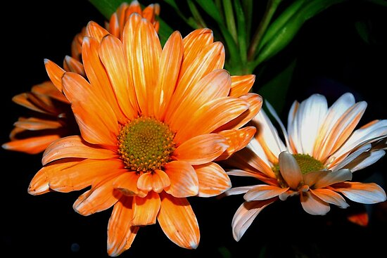 Orange and white streaked daisies by ♥⊱ B. Randi Bailey