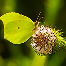 butterfly by davvi