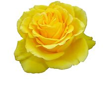 Beautiful Yellow Rose Closeup Isolated On White by taiche