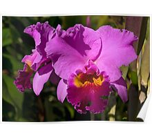 Majestic Pink Cattleya Orchid Bloom Poster