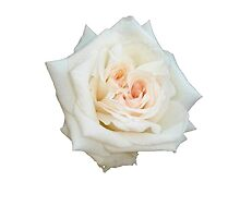 Close Up View Of A Beautiful White Rose Isolated by taiche