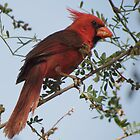 Northern Cardinal~ Male by Kimberly Chadwick