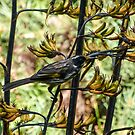 Honeyeater 2 by Louise Delahunty