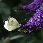 Butterfly bush  by Caroline Anderson