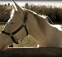 Albino Horse and Fence Rail equine photography by jemvistaprint