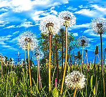 Sexy Dandelions by James Meyer