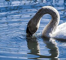 Swan drinking water by Arve Bettum