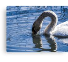 Swan drinking water Canvas Print