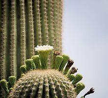 Blooming Saguaro cactus by Kathleen Brant