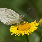 Green Veined White by Gill Langridge