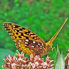 Great Spangled Fritillary Butterfly - Speyeria cybele by MotherNature