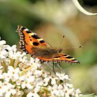 Butterfly by TigzPhotography
