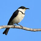 Banded Honeyeater on road into Edith Falls NT. by Alwyn Simple