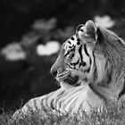 Siberian Tiger  by ChrisMillsPhoto