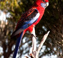 Crimson Rosella by John Sharp