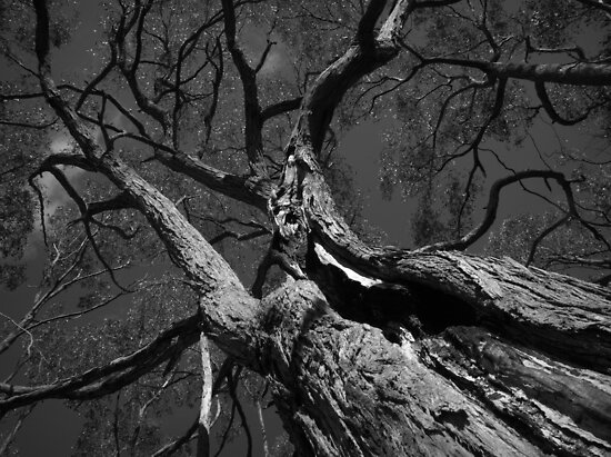 Scary Tree- Wotton Scrub Stringybark by Ben Loveday