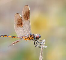 Female Four Spotted Pennant Dragonfly at Lacassine by Bonnie T.  Barry