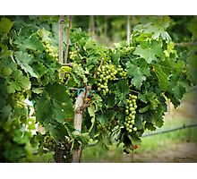 Fruit on the Vine Photographic Print