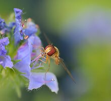 Hoverfly 3    by relayer51