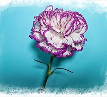 Carnation  by Forfarlass