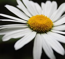 Daisy by Theresa Selley