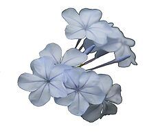 Pale Blue Plumbago Isolated on White Background by taiche