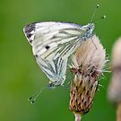 Green Veined White Butterflies Mating by M.S. Photography/Art
