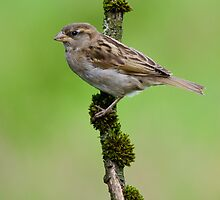 House Sparrow by M.S. Photography/Art