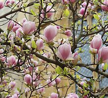 Oxford Magnolia by caterpillarcat
