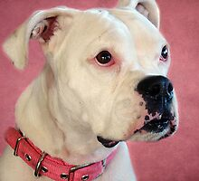 MILLY:  The Albino Deaf Boxer by PatChristensen