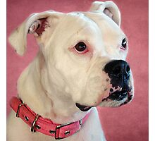 MILLY:  The Albino Deaf Boxer Photographic Print