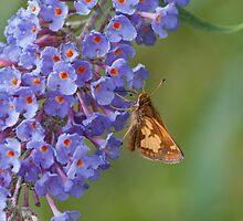 Skipper on Butterfly Bush by KathleenRinker