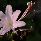 Resurrection Lily by cclaude