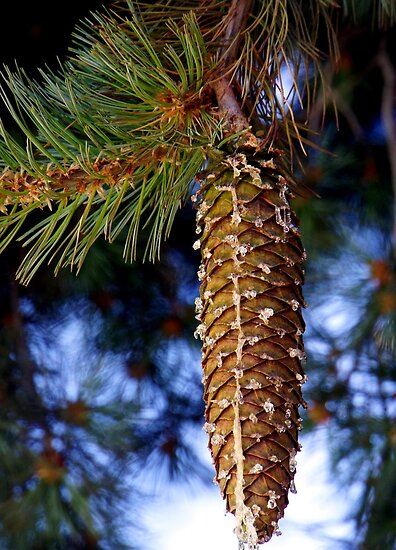 Cone of Sugarpine by Loree McComb