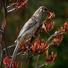 Wattle Bird feeding on flax flowers by pcbermagui