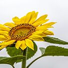 Good day, Sunshine! by PhotosByHealy
