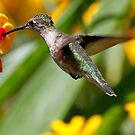 Ruby throated hummingbird by Dennis Cheeseman