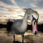 Swan in Dusk 2 by C.A. Rowe